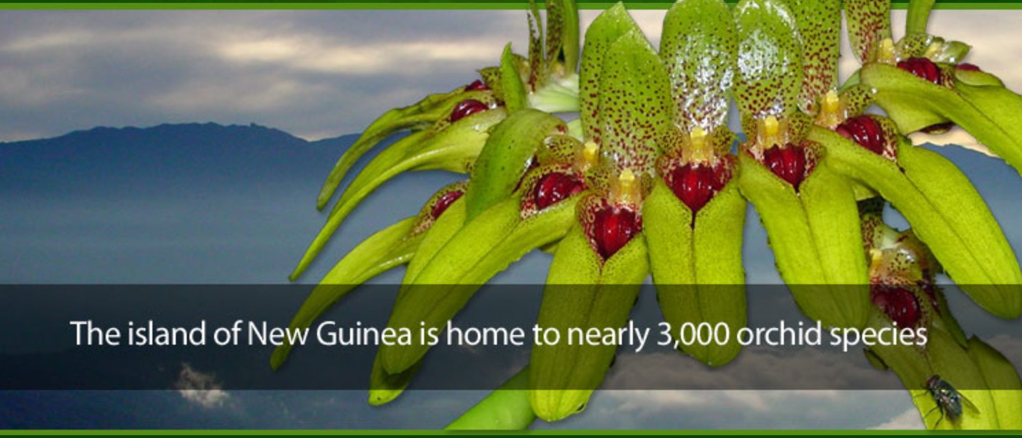 Papua new guinea orchid news papua new guina orchid news papua new guina orchid news sciox Images